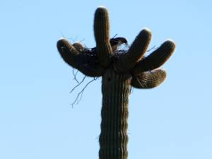 Bird Nesting in Saguaro