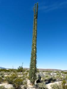 Cirios Cactus